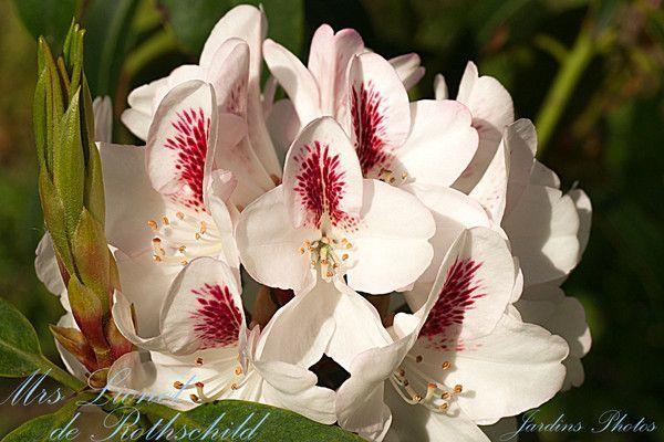 Rhododendron Mrs Lionel de Rothschild