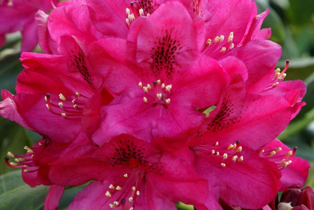 rhododendron nova zembla centerblog. Black Bedroom Furniture Sets. Home Design Ideas