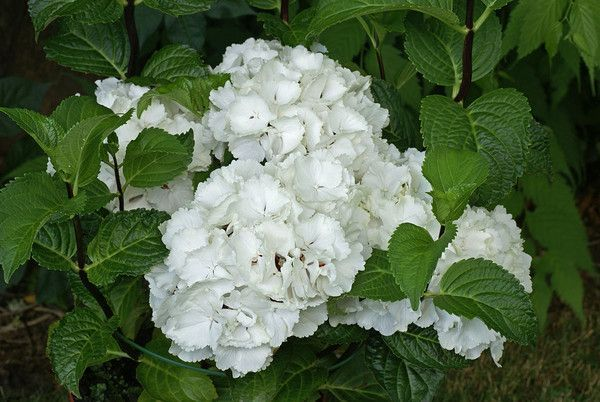 hydrangea macrophylla white ball centerblog. Black Bedroom Furniture Sets. Home Design Ideas
