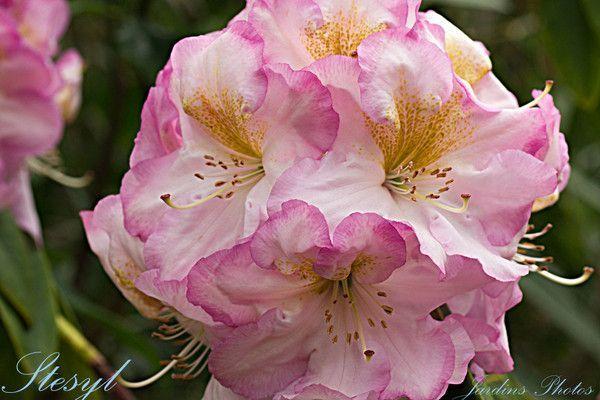 Rhododendron Stesyl