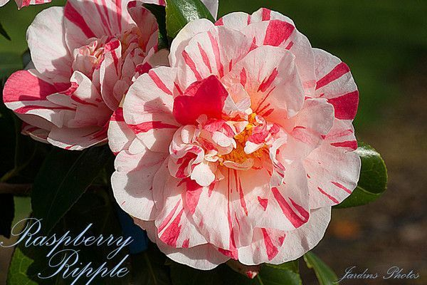 CAMELLIA. RASPBERRY RIPPLE