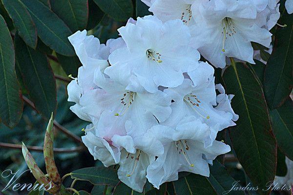 Rhododendron Venus