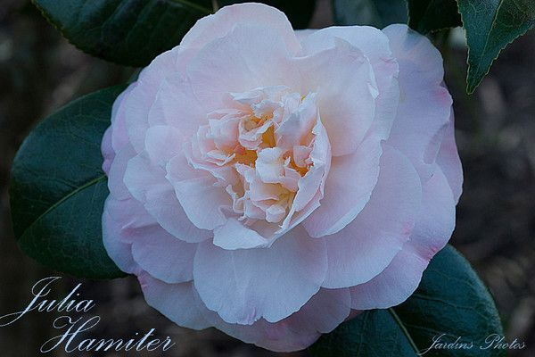 CAMELLIA. JULIA HAMITER